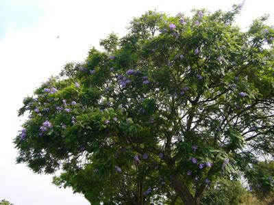 紫に咲くジャカランタ。季節終わっちゃって残念