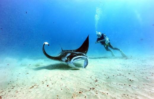 ダイバーに人気のマンタレイ, photo:ブリーズハワイ